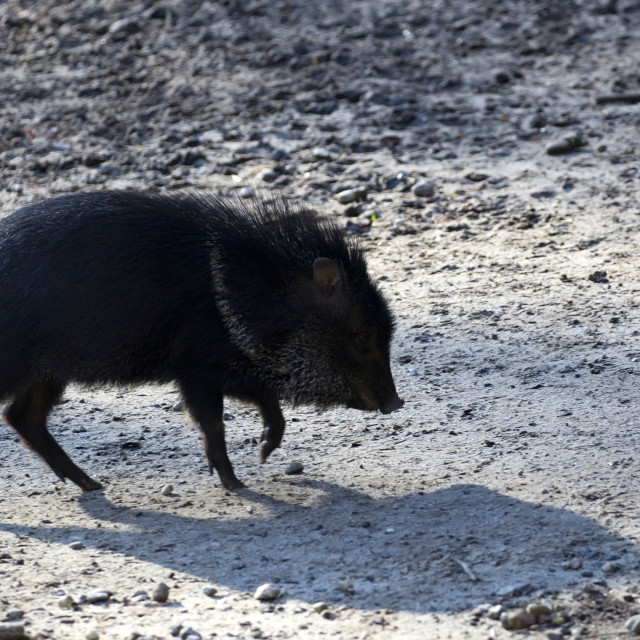 """Peccary in the wild"" stock image"