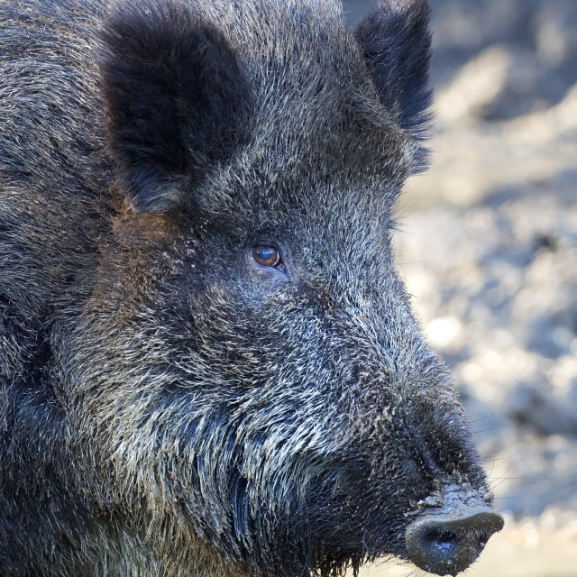 """Wild boar a close-up portrait"" stock image"