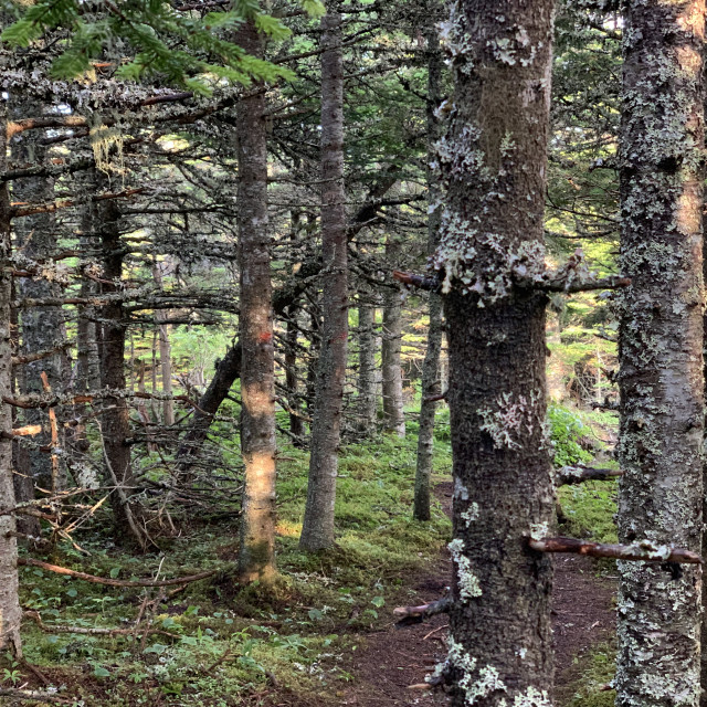 """Forest Trees Newfoundland"" stock image"