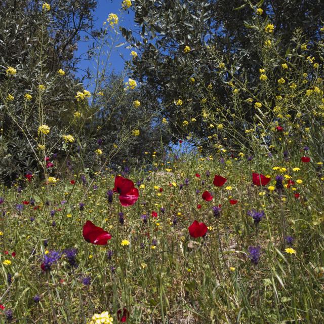 """Greek Wildflowers"" stock image"