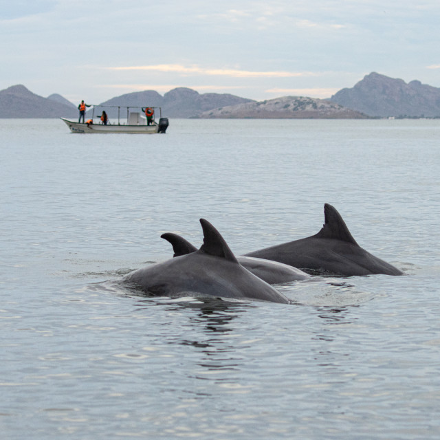 """""""Watching dolphins on the bay"""" stock image"""