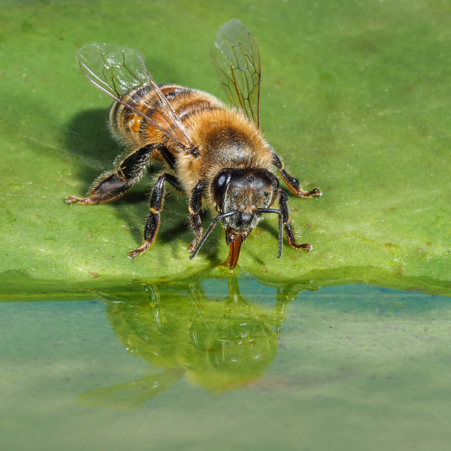 """Honey bee having a drink reflection no 1"" stock image"