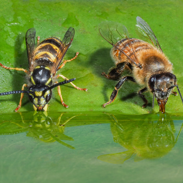 """Honey bee and wasp having a drink reflection"" stock image"