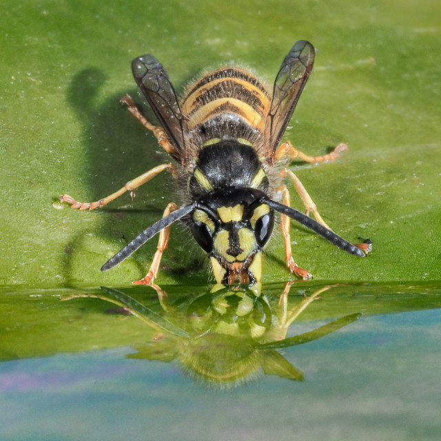"""Wasp having a drink reflection no 3"" stock image"