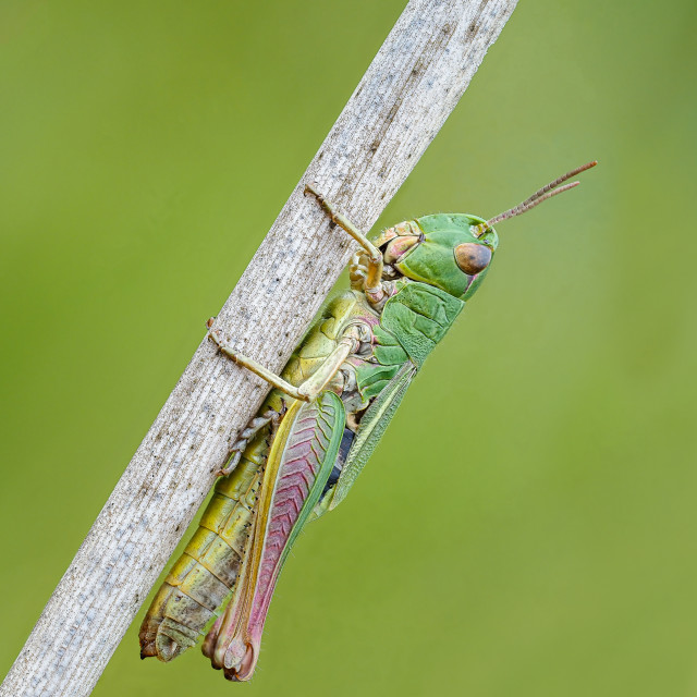 """Meadow Grasshopper Chorthippus parallelus no 3."" stock image"