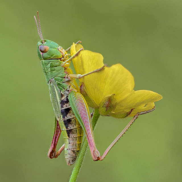 """Meadow Grasshopper Chorthippus parallelus no 1."" stock image"