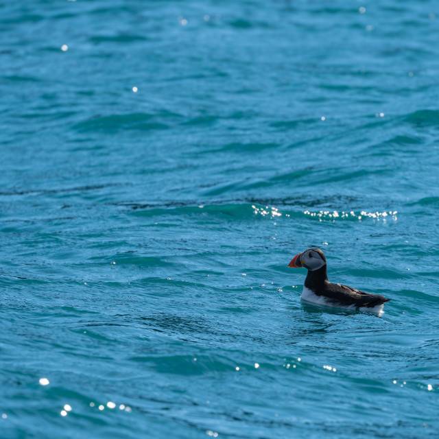 """The Swimming Puffin"" stock image"