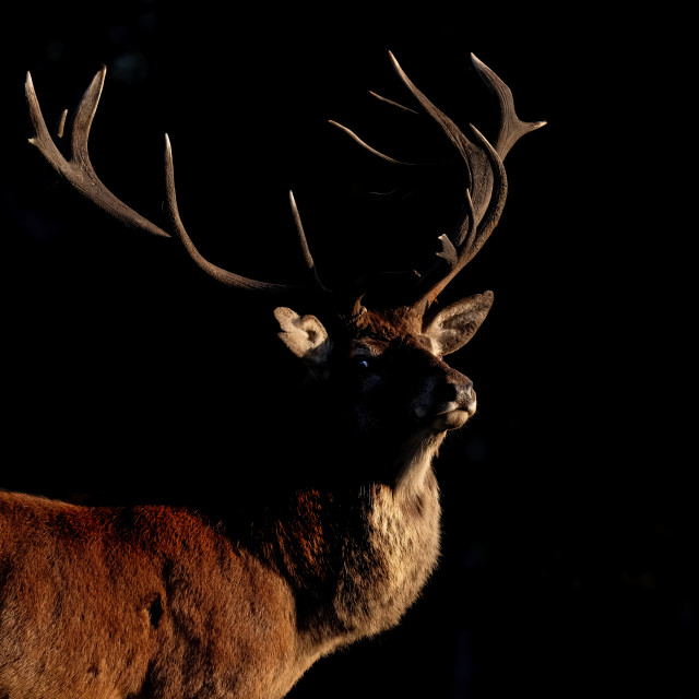 """""""RED DEER STAG INTO THE LIGHT"""" stock image"""
