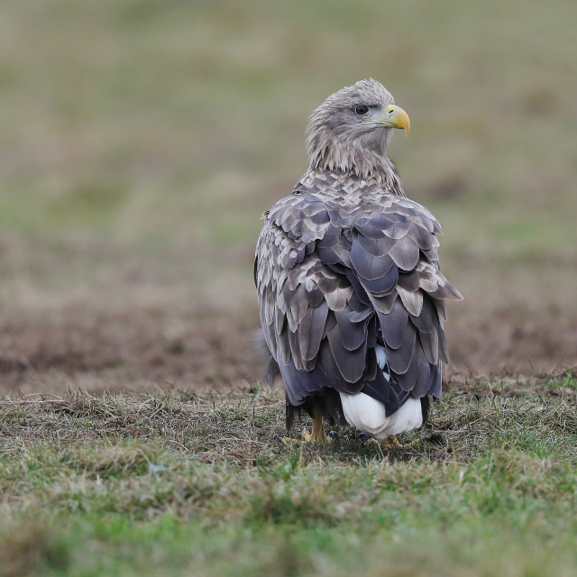 """A White-tailed eagle on the ground"" stock image"