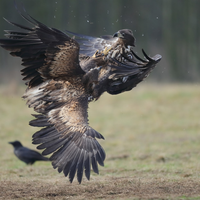 """Two juvenile White-tailed eagles fighting over carrion"" stock image"