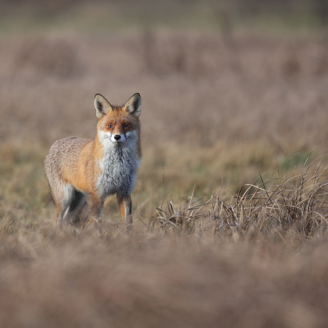 """A Red fox in a field"" stock image"