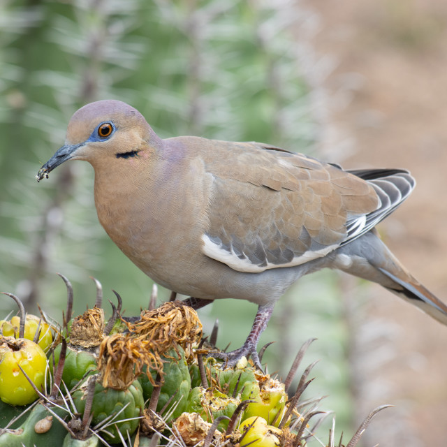 """""""a dove eating cactus flowers"""" stock image"""