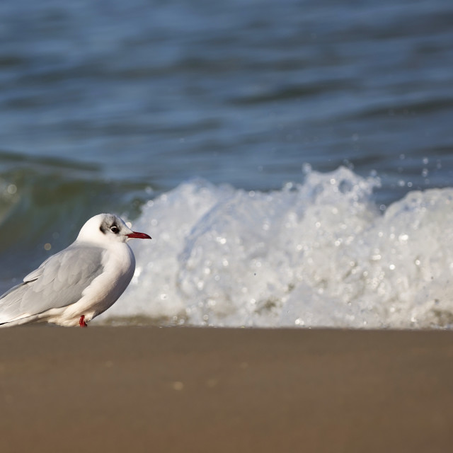 """Gull on the beach"" stock image"