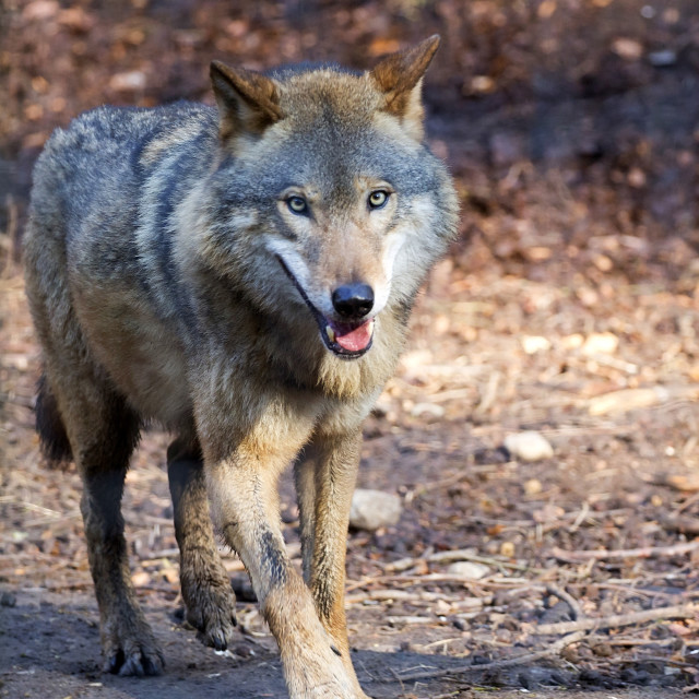 """Wolf in the forest"" stock image"