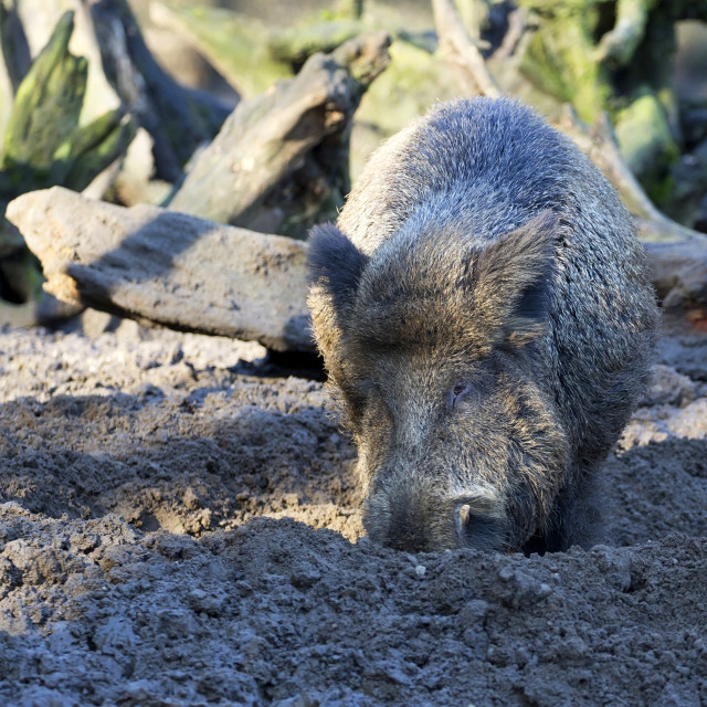 """Wild boar in the wild"" stock image"