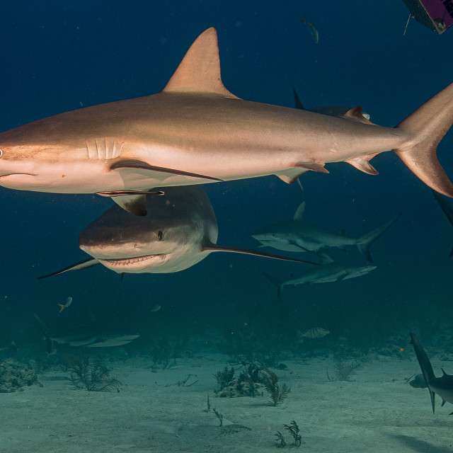 """Caribbean grey reef shark"" stock image"
