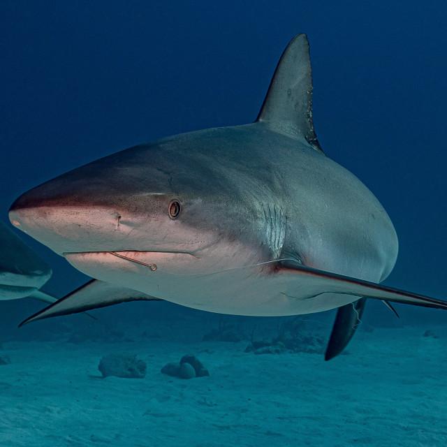 """Caribbean grey reef shark, with fish hook"" stock image"
