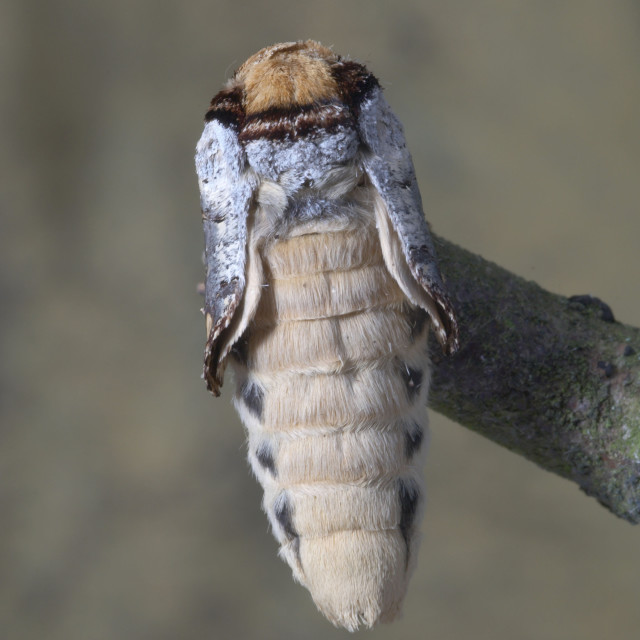 """Buff tip moth emerged no 1"" stock image"