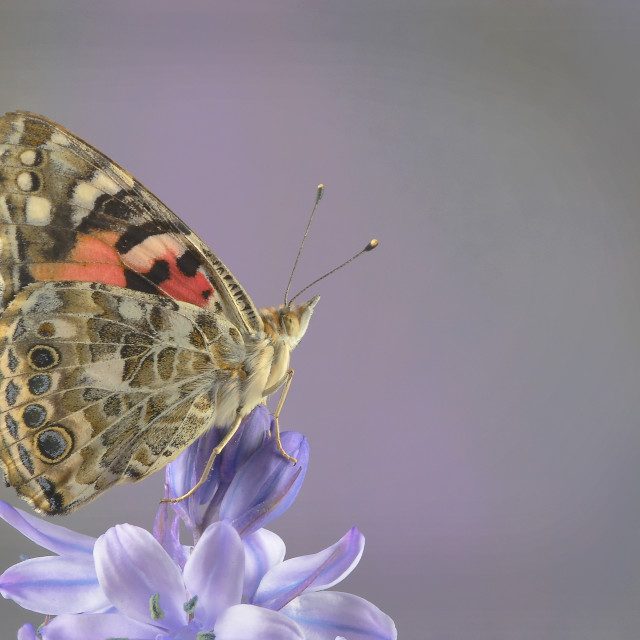 """Painted lady butterfly Vanessa cardui no 5"" stock image"