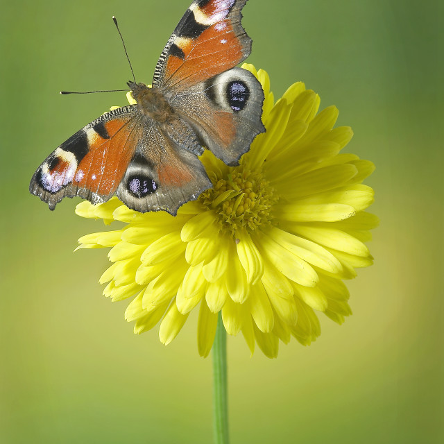 """Peacock butterfly Aglais io no 3"" stock image"