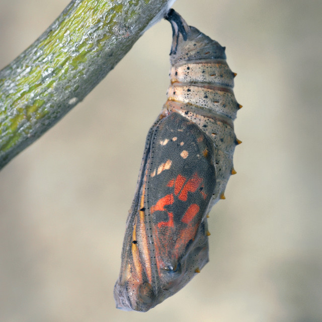 """Pupa of the Painted lady butterfly no 3"" stock image"