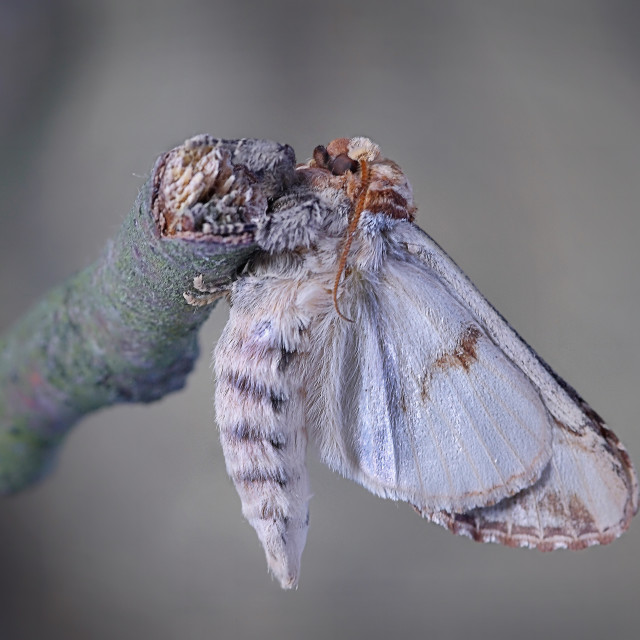 """Buff tip moth emerged no 5"" stock image"