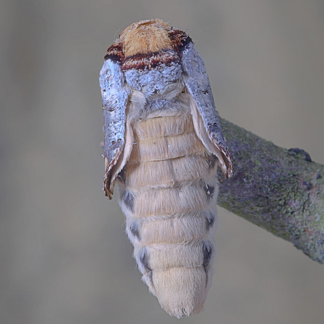 """Buff tip moth emerged no 2"" stock image"