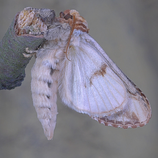 """Buff tip moth emerged no 4"" stock image"