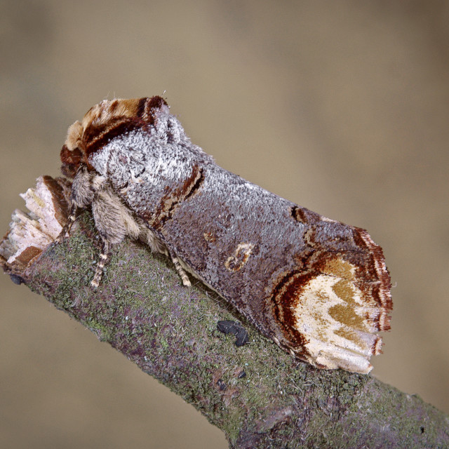 """Buff tip moth no 4"" stock image"