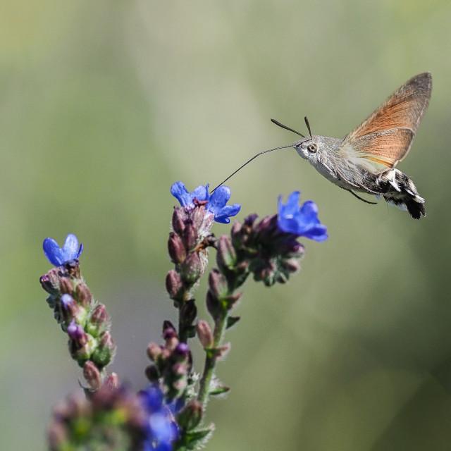 """""""Hummingbird hawk moth Macroglossum stellatarum"""" stock image"""