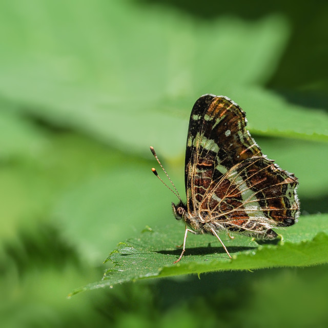 """Map Butterfly Araschnia levana f. prorsa"" stock image"