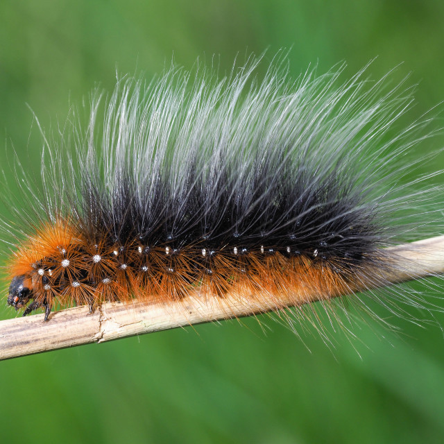 """Garden tiger moth caterpillar no 1"" stock image"