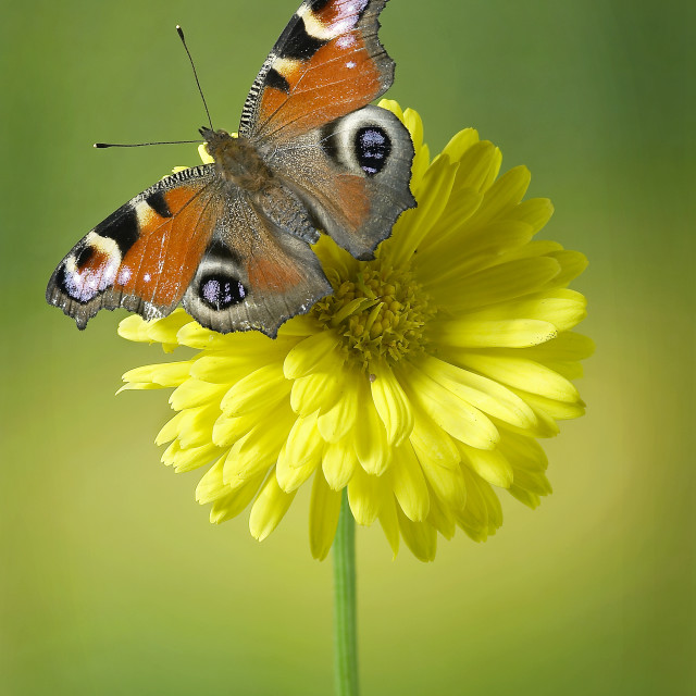 """Peacock butterfly Aglais io no 4"" stock image"