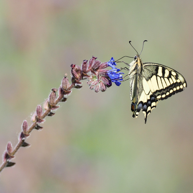 """Swallowtail butterfly Papilio machaon no 1"" stock image"