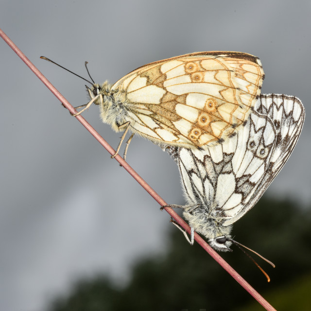 """Marbled White butterfly Melanargia galathea no 1"" stock image"