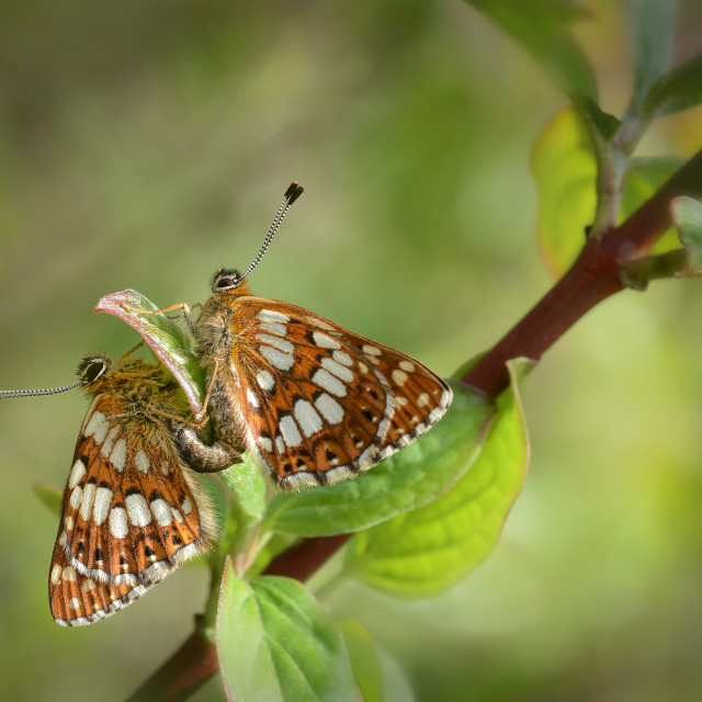 """Duke of burgundy butterfly Hamearis lucina no 2"" stock image"