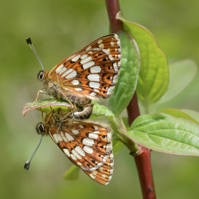"""Duke of burgundy butterfly Hamearis lucina no 1"" stock image"
