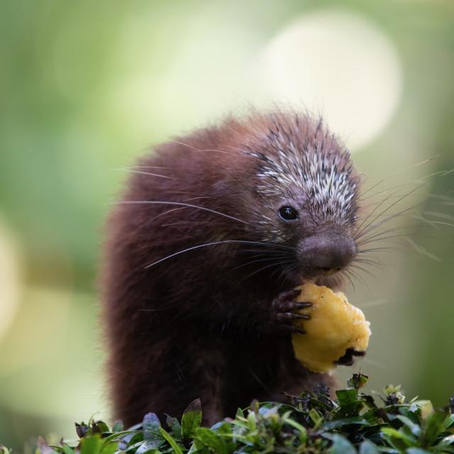 """Porcupine baby"" stock image"