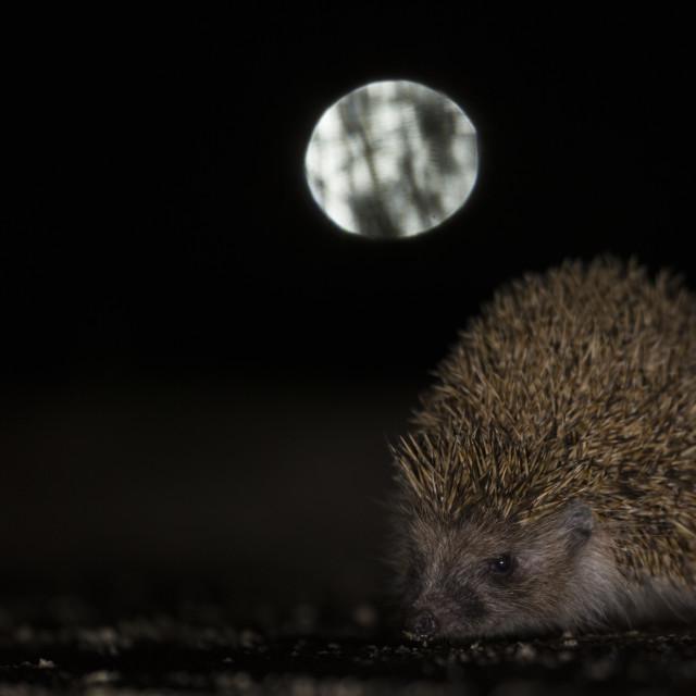 """European Hedgehog"" stock image"