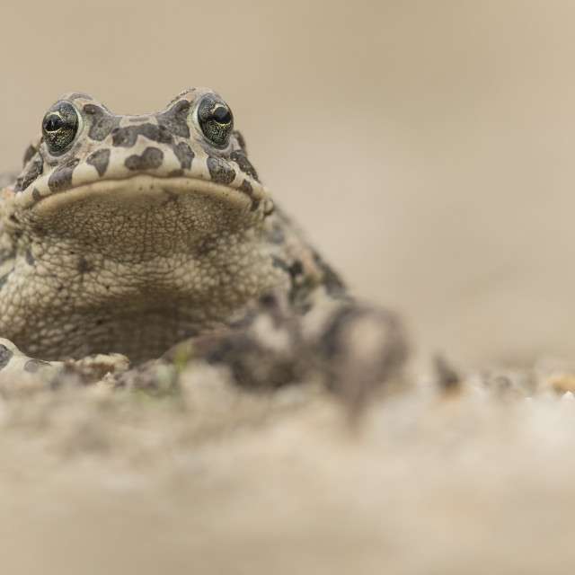 """Female Green Toad"" stock image"
