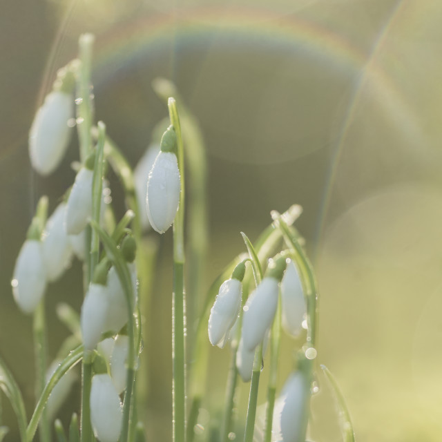 """Snowdrops and Rainbows"" stock image"