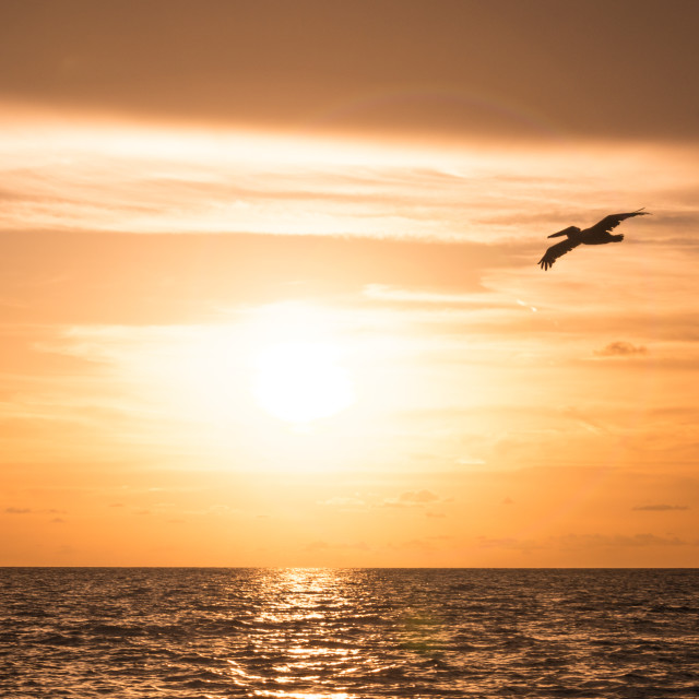 """""""Sunset and pelican"""" stock image"""