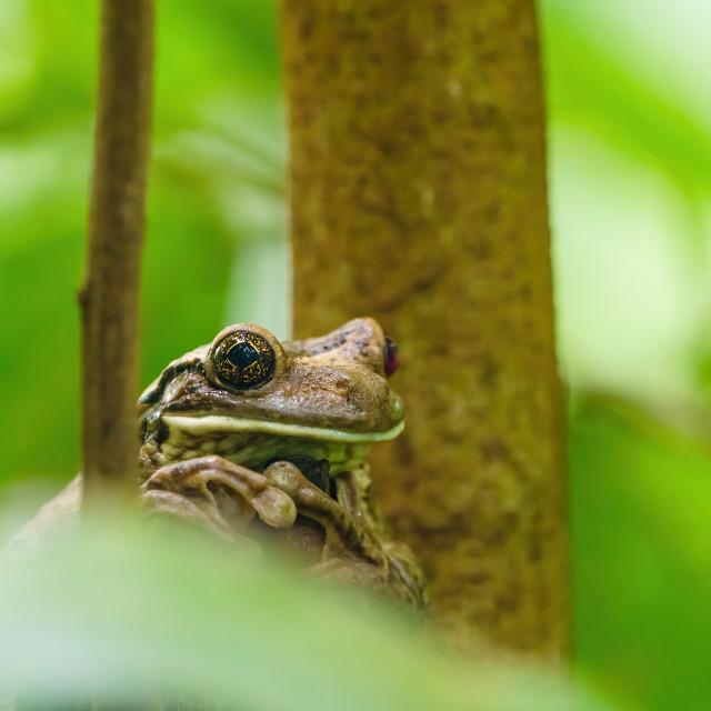 """Veined Tree Frog (Trachycephalus venulosus) in Costa Rica"" stock image"