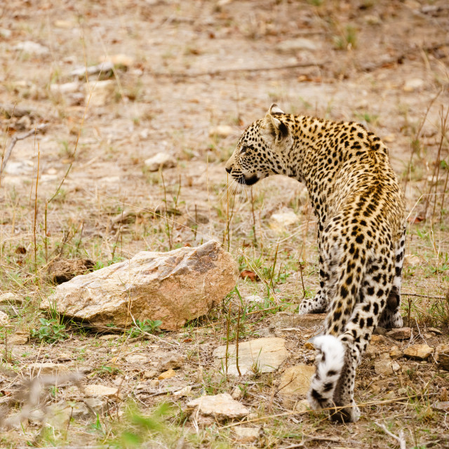 """Leopard (Panthera pardus)"" stock image"