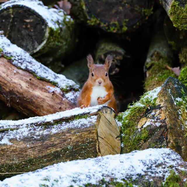 """""""red squirrel (Sciurus vulgaris) in Scotland"""" stock image"""
