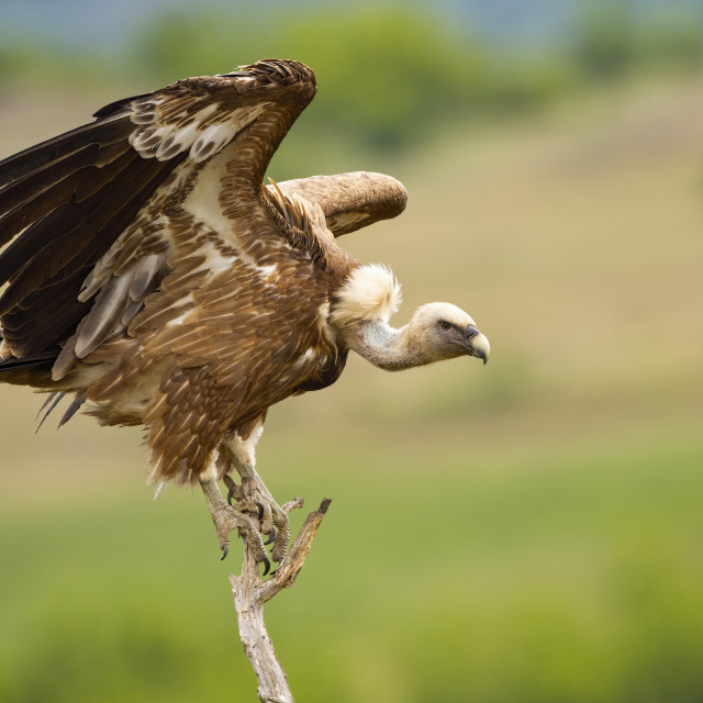 """""""Eurasian griffon taking off from a dry tree in summer nature"""" stock image"""
