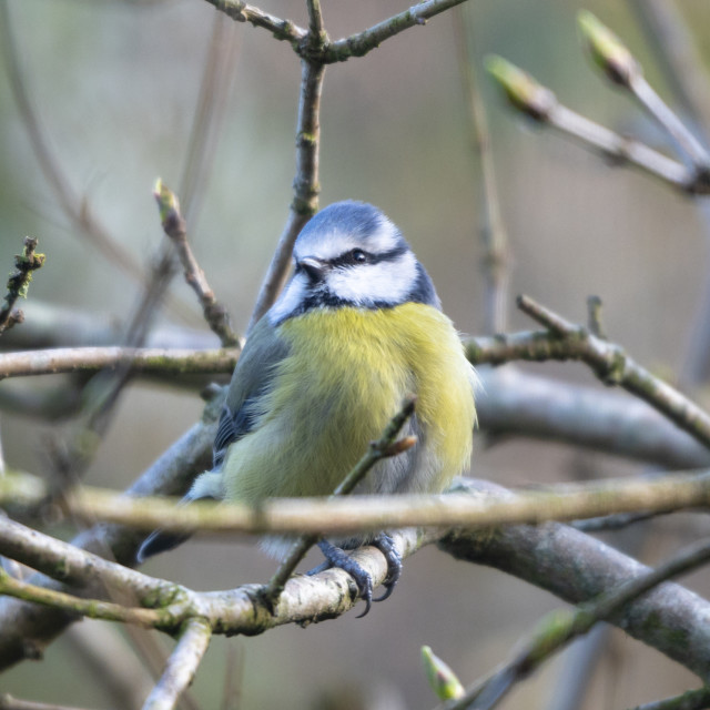 """A Blue Tit (Cyanistes caeruleus) perches"" stock image"