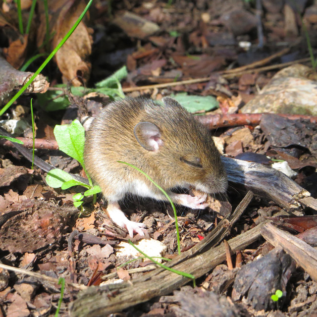 """""""Little blind mouse eating"""" stock image"""