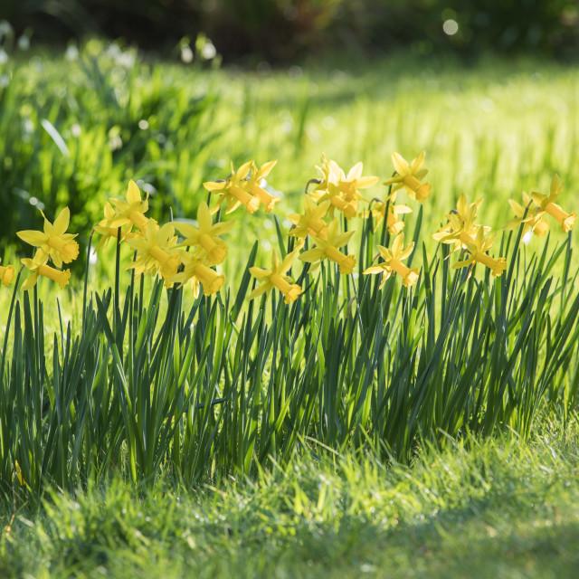 """Daffodil Parade"" stock image"