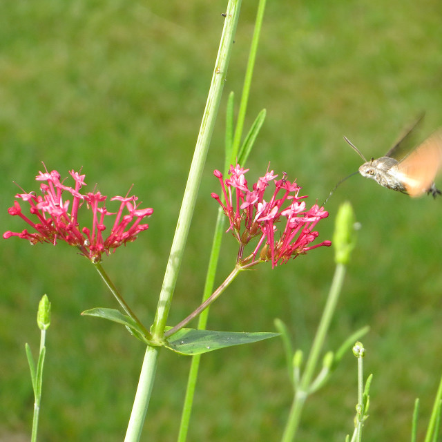 """""""Hummingbird moth collecting pollen from a pink flower"""" stock image"""